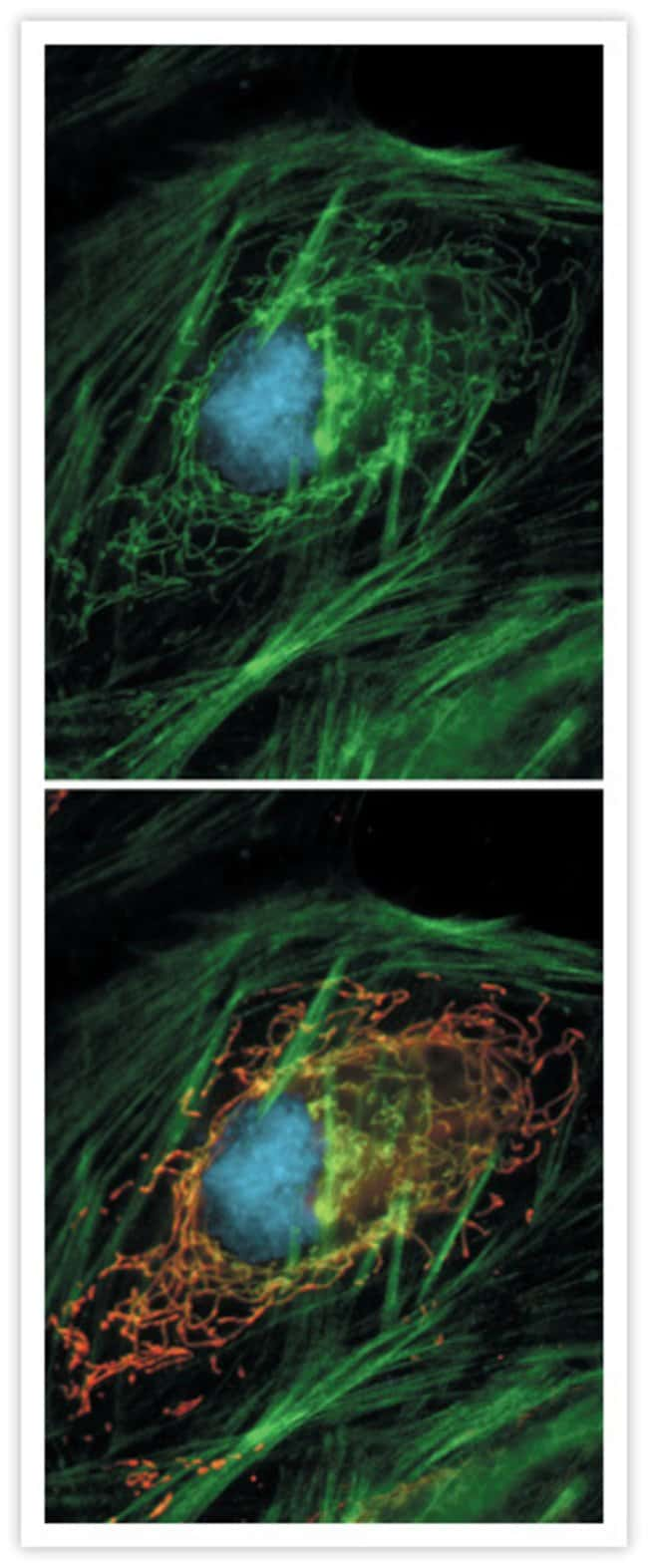 HeLa cell transfected with pShooter pCMV/myc/mito/GFP, then fixed and permeabilized. Green-fluorescent protein (GFP) localized in the mitochondria was labeled with anti-GFP mouse IgG<sub>2a</sub> (Cat