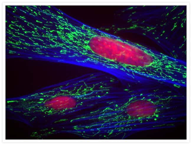The actin cytoskeleton was stained using a blue-fluorescent Alexa Fluor® 350 phalloidin conjugate (Cat. no. A22281). Mitochondria were labeled with a primary antibody ATP Synthase Subunit IF1 Mouse mo