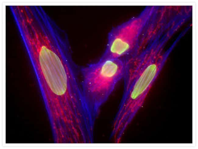 Nuclear, cytoskeletal, and mitochondrial staining of Muntjac fibroblasts.