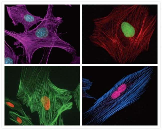 Fixed, permeabilized bovine pulmonary artery endothelial cells visualized using components of the SelectFX® Nuclear Labeling Kit and Alexa Fluor® phalloidin conjugates.