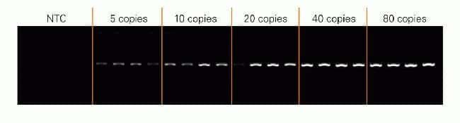 Sensitivity of AmpliTaq Gold® 360 DNA Polymerase for detection of low copy targets.