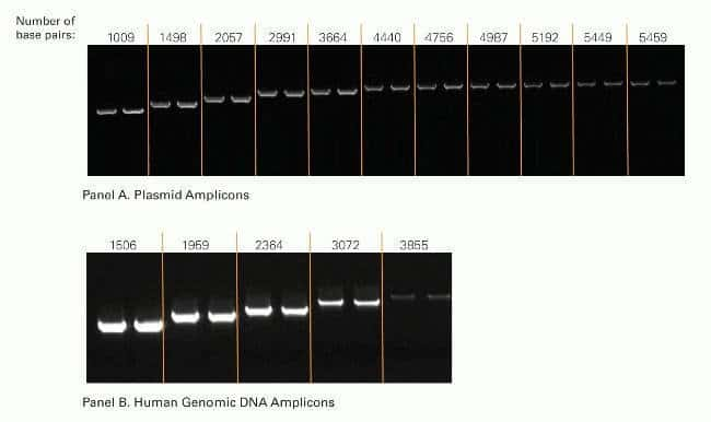 Both plasmid (Panel A) and human genomic DNA (Panel B) amplicons, up to 5,459 bp long, were efficiently and reproducibly amplified in duplicate reactions. Plasmid DNA was amplified using 2 mM MgCl<sub