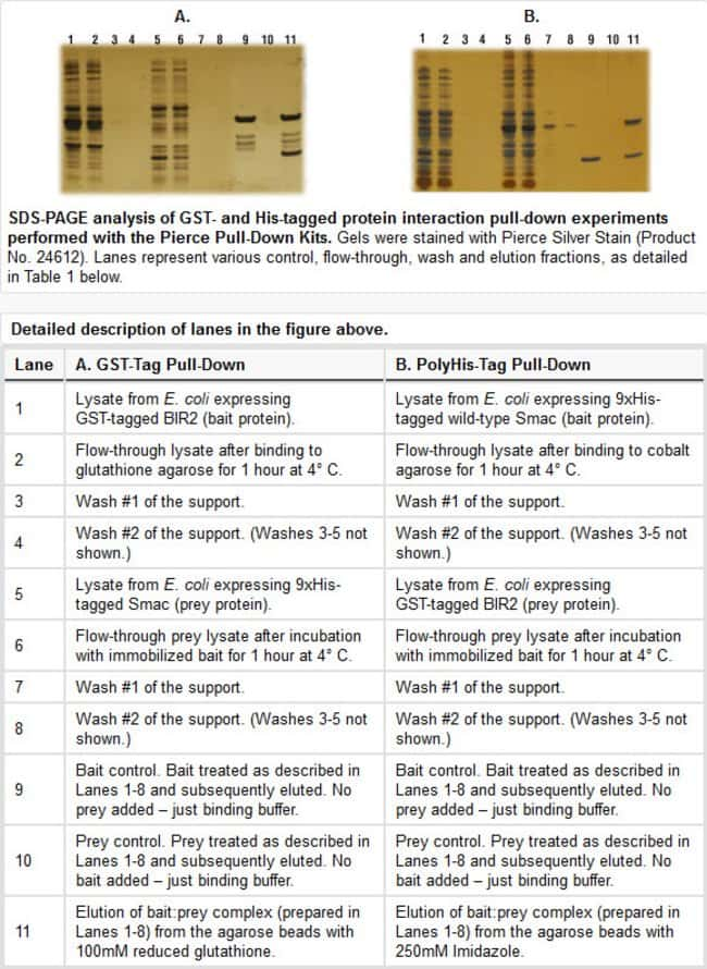 Detailed description of lanes in western blot figure
