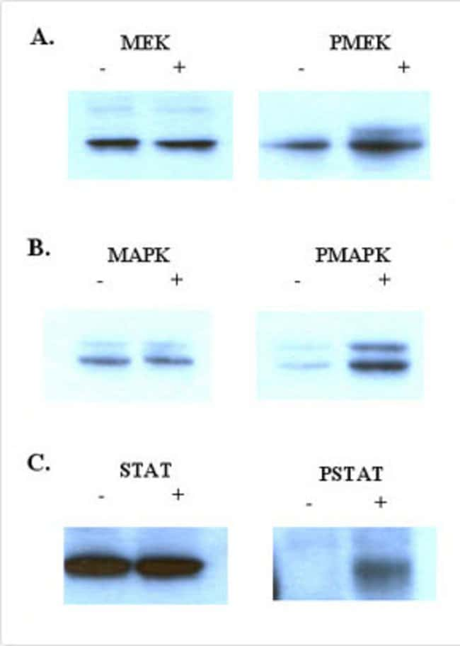 Preserved phosphorylation states of three proteins in cell lysate