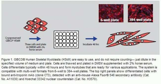 GIBCO® Human Skeletal Myoblasts (HSkM) are easy to use, and do not require counting—just dilute in the specified volume of medium and plate. Cells are thawed and plated in DMEM supplemented with