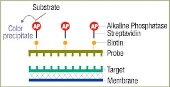 Biotin Chromogenic Detection