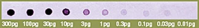 Dot-blot hybridization with a biotin-labeled probe