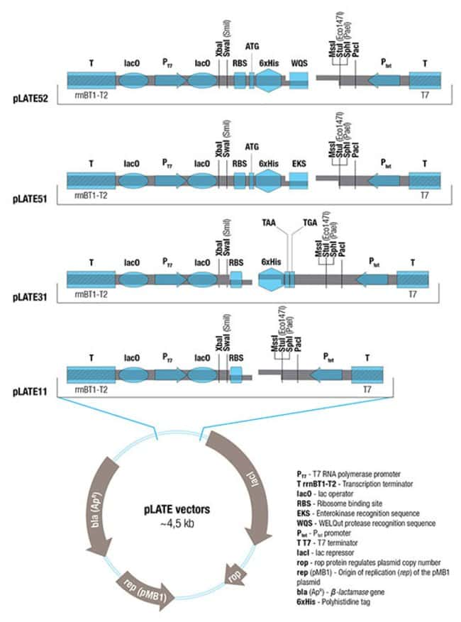 <p>pLATE expression vectors use elements from bacteriophage T7 to control expression of heterologous genes in <em>E. coli</em>. The expression of the gene of interest is driven by a strong bacteriopha