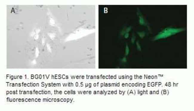 BG01V human embryonic stem cells (hESCs) were transfected using the Neon™ Transfection System with 0.5 µg of plasmid encoding EGFP. 48 hr post transfection, the cells were analyzed by light and fluore