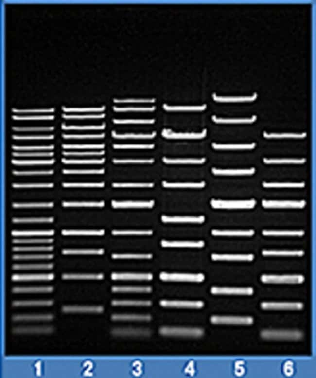 Separation of DNA ladders in TopVision Low Melting Point Agarose