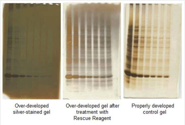 Dilutions of <em>E. coli</em> cell lysate were separated by polyacrylamide gel eletrophoresis (SDS-PAGE) using 4-12% gradient gels and stained with Thermo Scientific Pierce Silver Stain Kit (Part No.