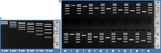 Time course of FastRule Low Range DNA Ladder band separation