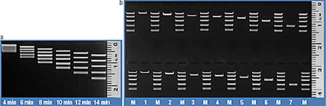Time course of FastRule High Range DNA Ladder band separation