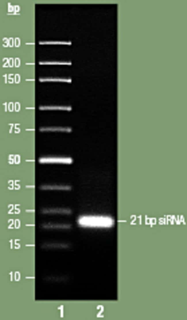 siRNA analysis by GeneRuler/O'GeneRuler Ultra Low Range DNA ladders