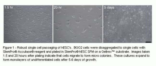 StemPro® Accutase® allows single-cell passaging of hESC when cultured in StemPro® hESC SFM.