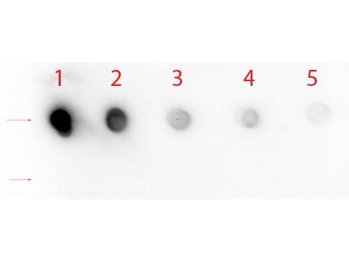 NOTCH 1 Antibody in Dot blot (DB)