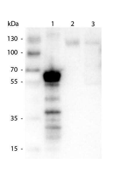 Kinesin-1 Antibody in Western Blot (WB)