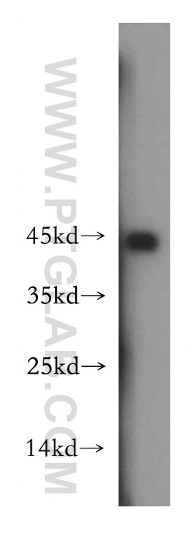 FKBPL Antibody in Western Blot (WB)