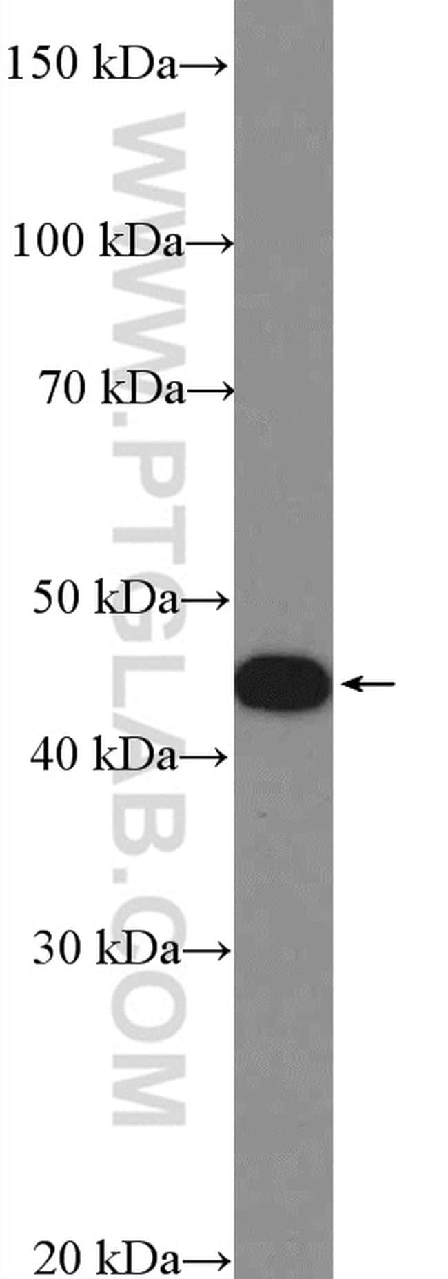 SNX6 Antibody in Western Blot (WB)