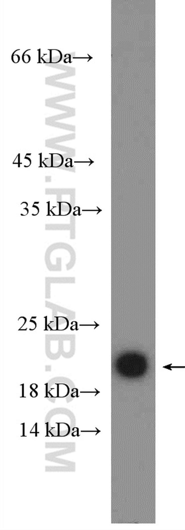 CDC42 Antibody in Western Blot (WB)