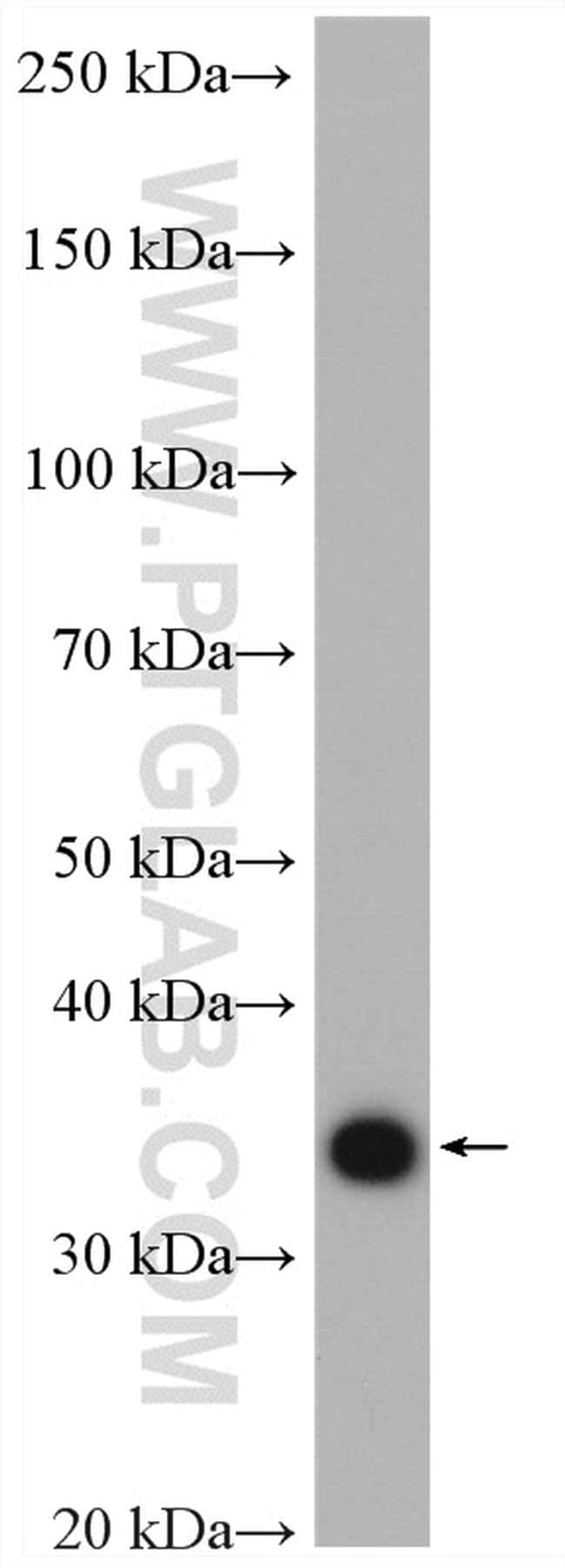 IGFBP3 Antibody in Western Blot (WB)