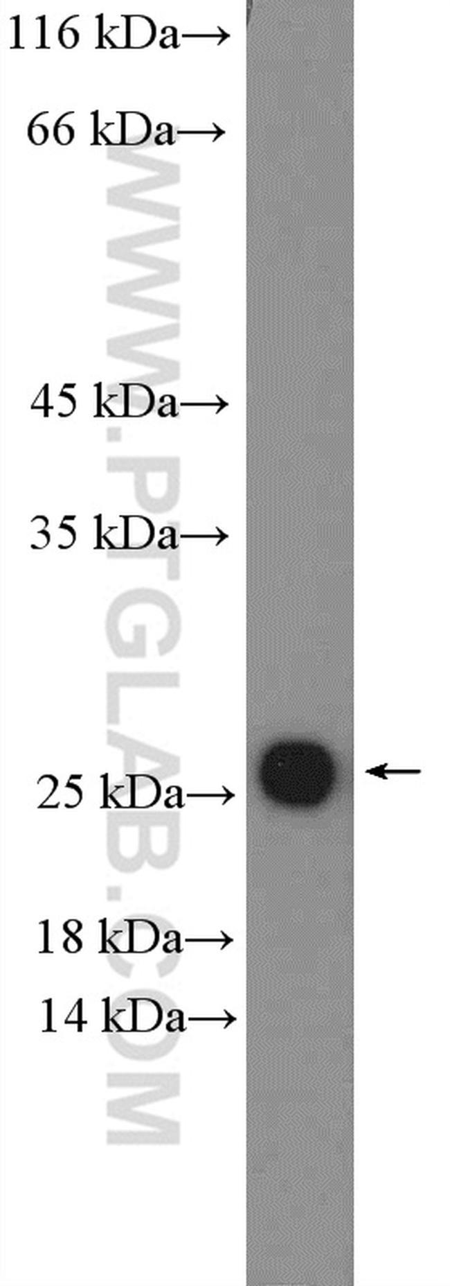 ARL4C Antibody in Western Blot (WB)