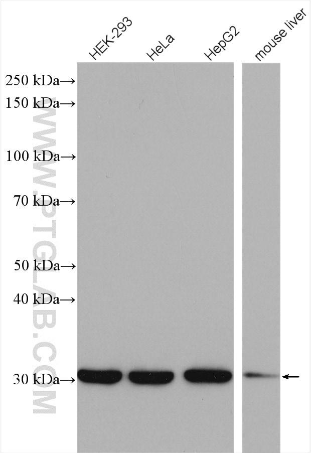 SNRPA Antibody in Western Blot (WB)