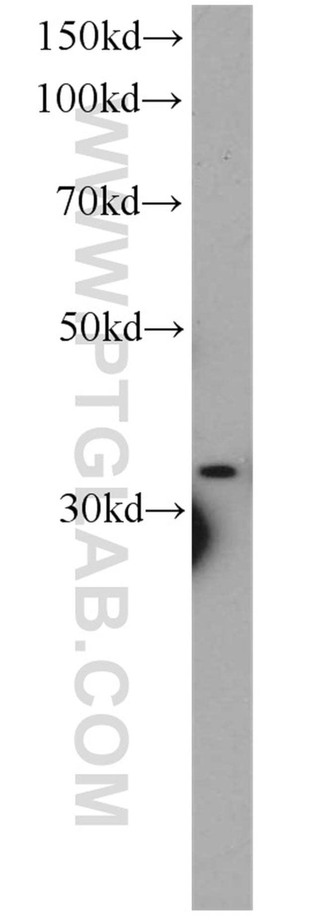 CYC1 Antibody in Western Blot (WB)