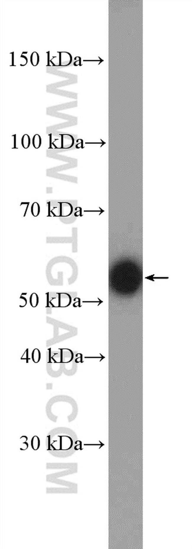 Torsin A Antibody in Western Blot (WB)