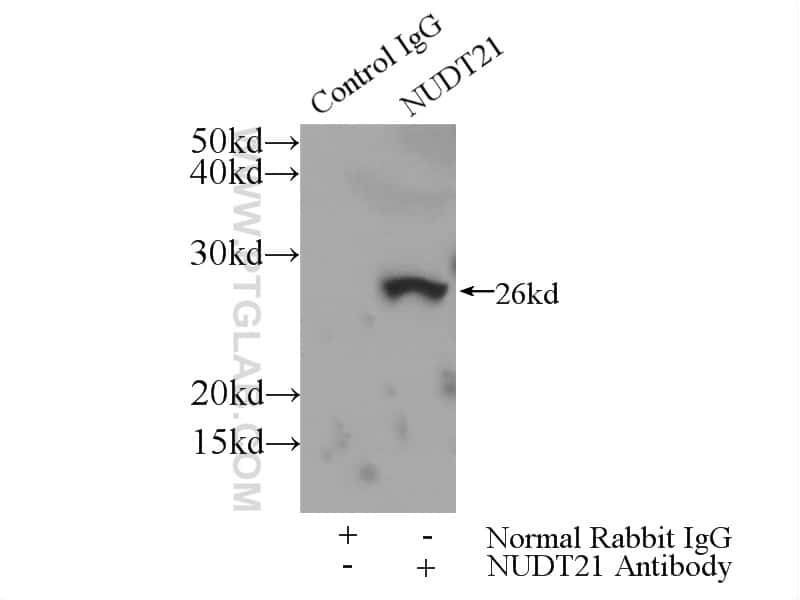 NUDT21 Antibody in Immunoprecipitation (IP)