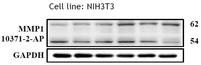 MMP1 Antibody in Western Blot (WB)
