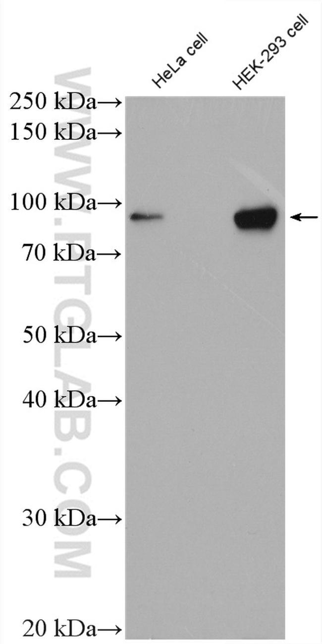 OCT1 Antibody in Western Blot (WB)