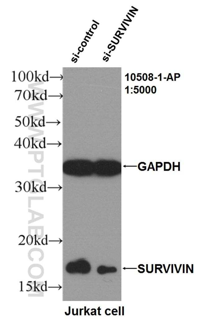 SURVIVIN Antibody in Western Blot (WB)