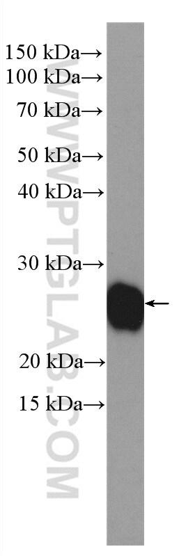 TAF9 Antibody in Western Blot (WB)
