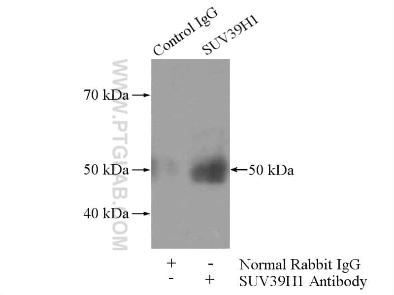 SUV39H1 Antibody in Immunoprecipitation (IP)