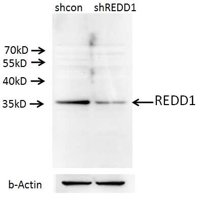 REDD1 Antibody in Western Blot (WB)