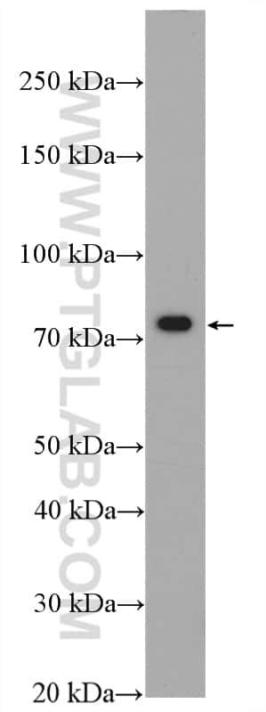 XPNPEP1 Antibody in Western Blot (WB)