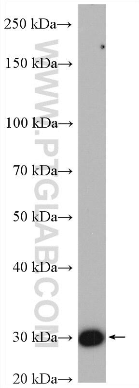 HO-1/HMOX1 Antibody in Western Blot (WB)