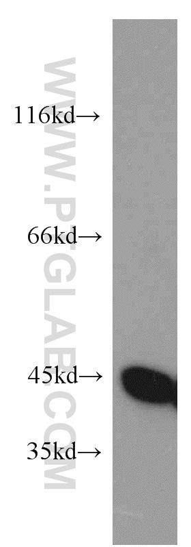 NELFE Antibody in Western Blot (WB)