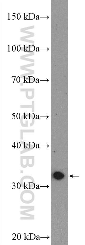 DARPP32 Antibody in Western Blot (WB)