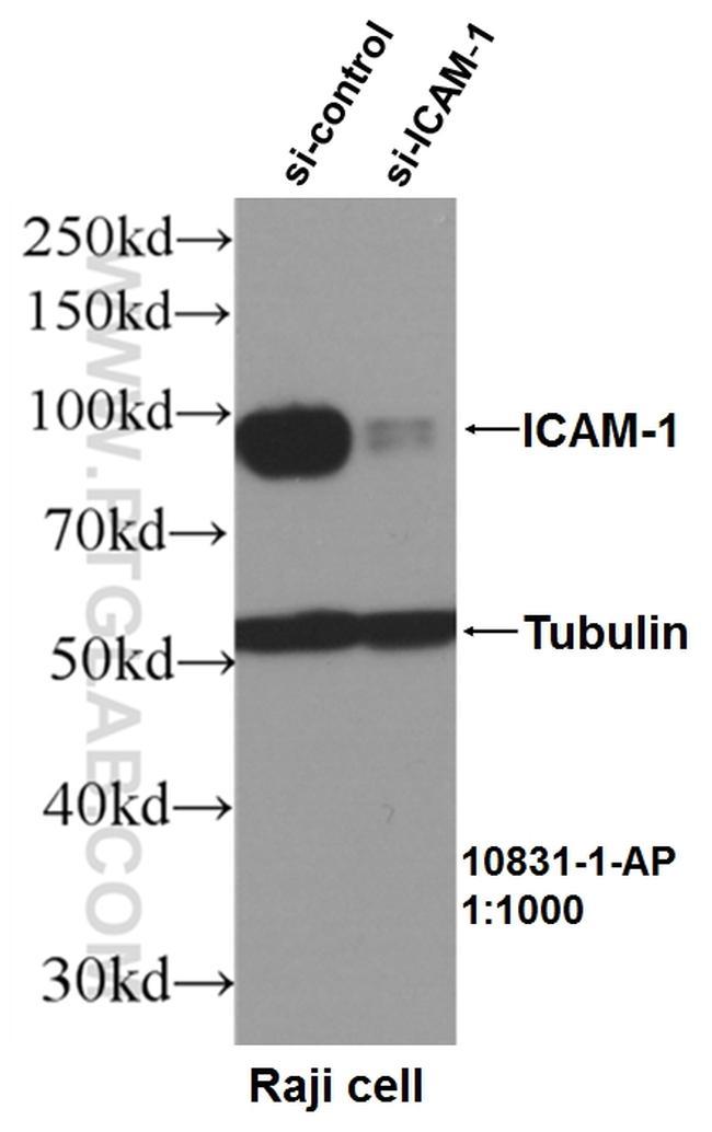ICAM-1 Antibody in Western Blot (WB)