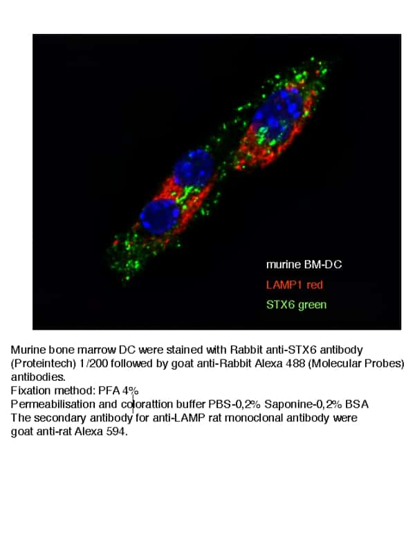 Syntaxin 6 Antibody in Immunofluorescence (IF)