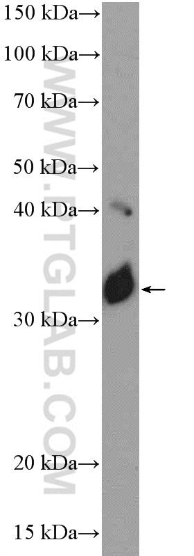 NOL3 Antibody in Western Blot (WB)