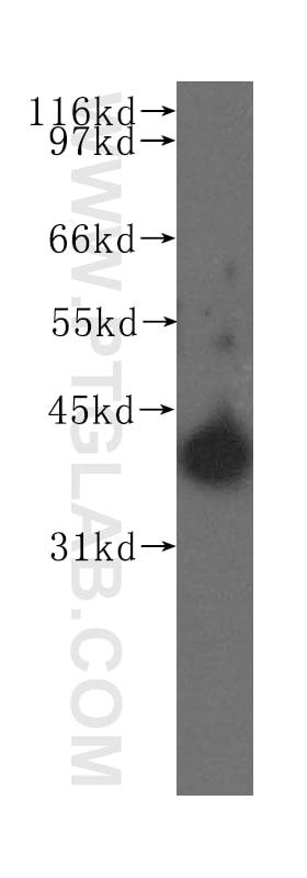 PTGES2 Antibody in Western Blot (WB)