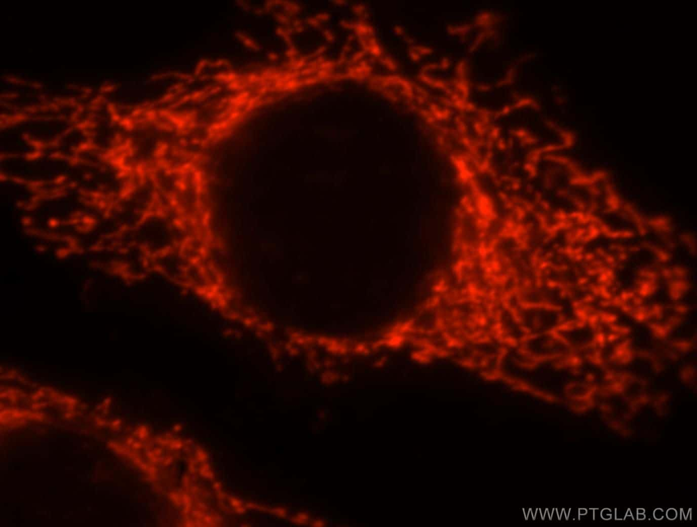 Syndecan-3 Antibody in Immunocytochemistry (ICC/IF)