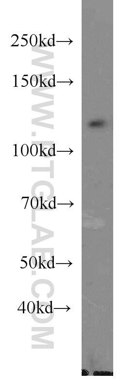 DGCR8 C-terminal Antibody in Western Blot (WB)