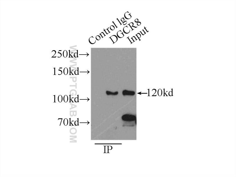 DGCR8 C-terminal Antibody in Immunoprecipitation (IP)