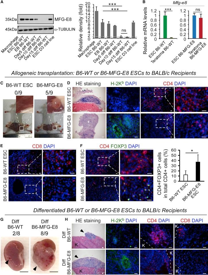 CD8a Antibody in Immunocytochemistry (ICC/IF)