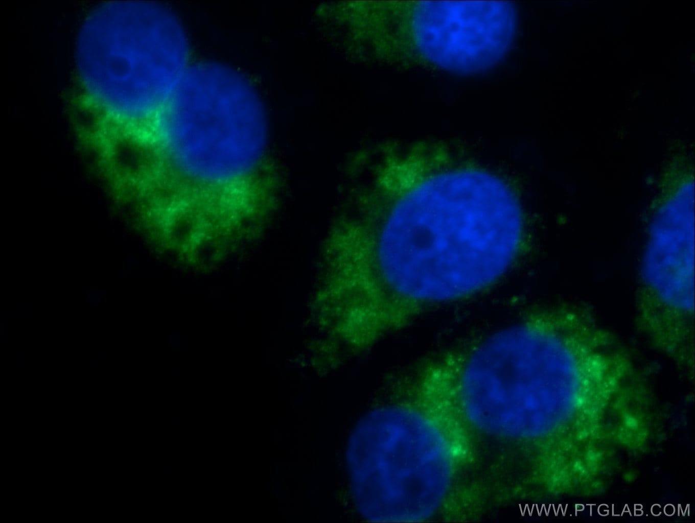GABARAPL1 Antibody in Immunofluorescence (IF)