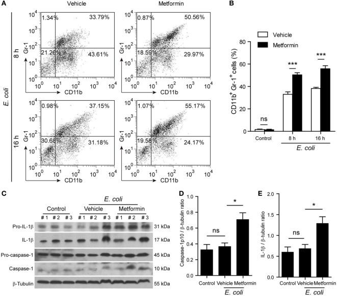 CD11b Antibody